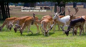 what is a group of deer called